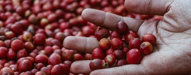 Hand Holdin ripe coffee cherries
