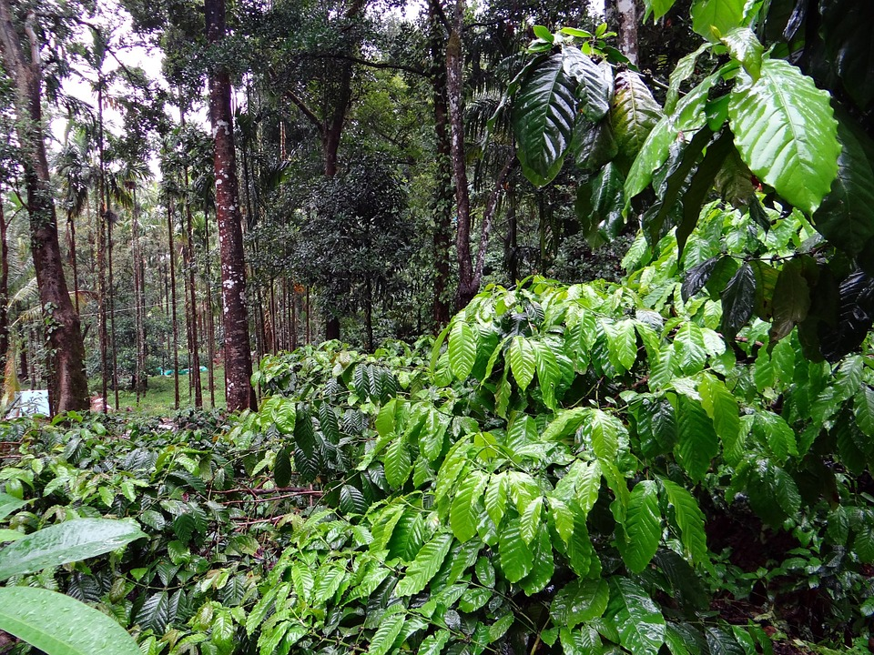 Crop of Robusta coffee trees