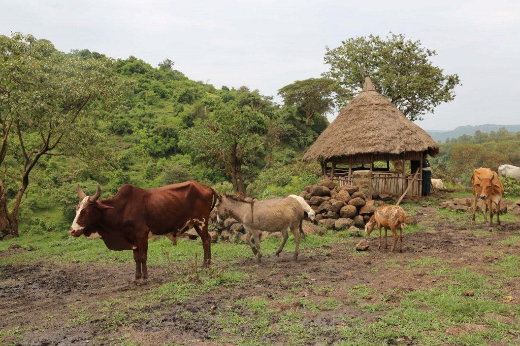 Ethiopian coffee farm
