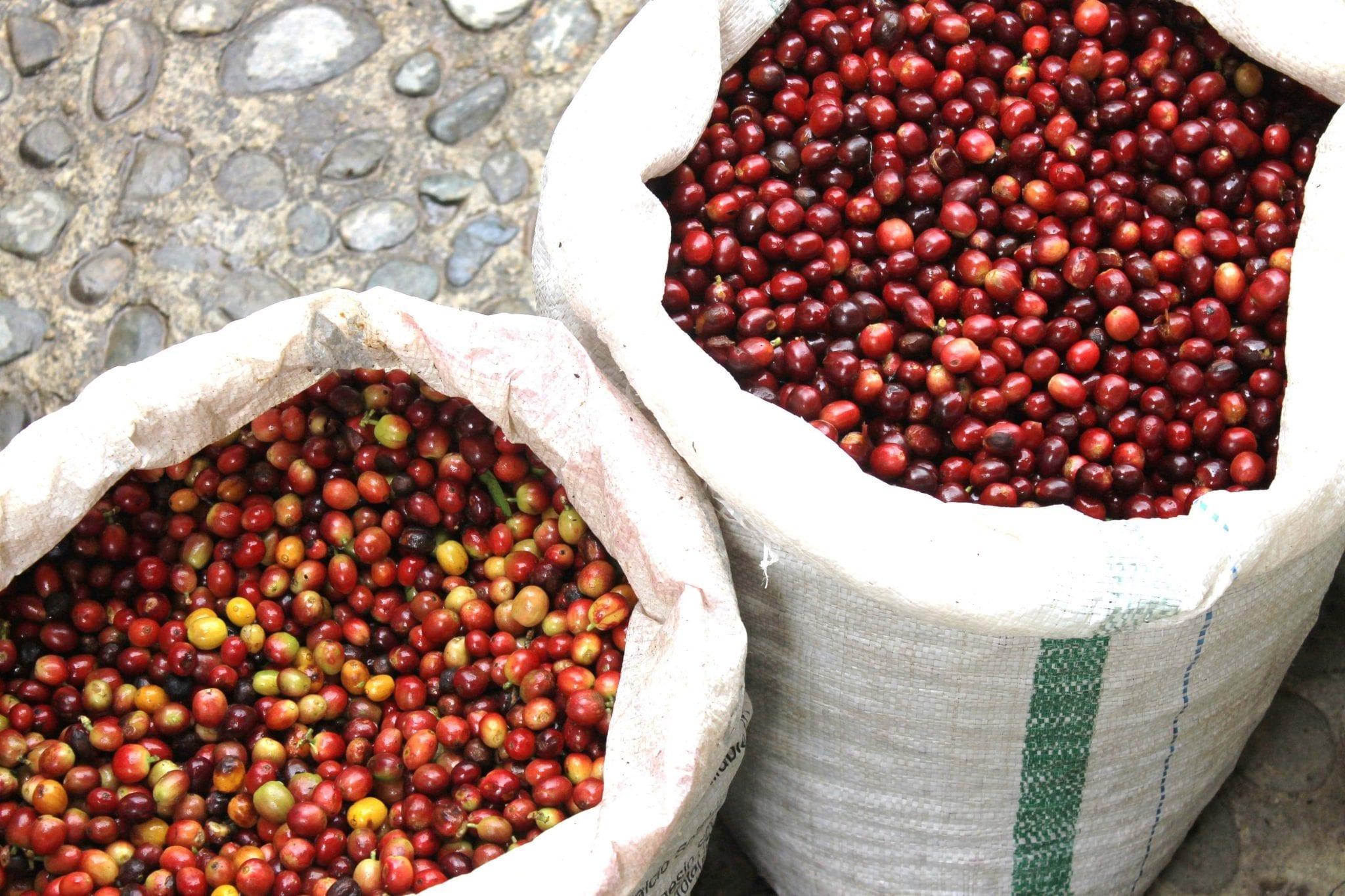 two sacks of coffee cherries