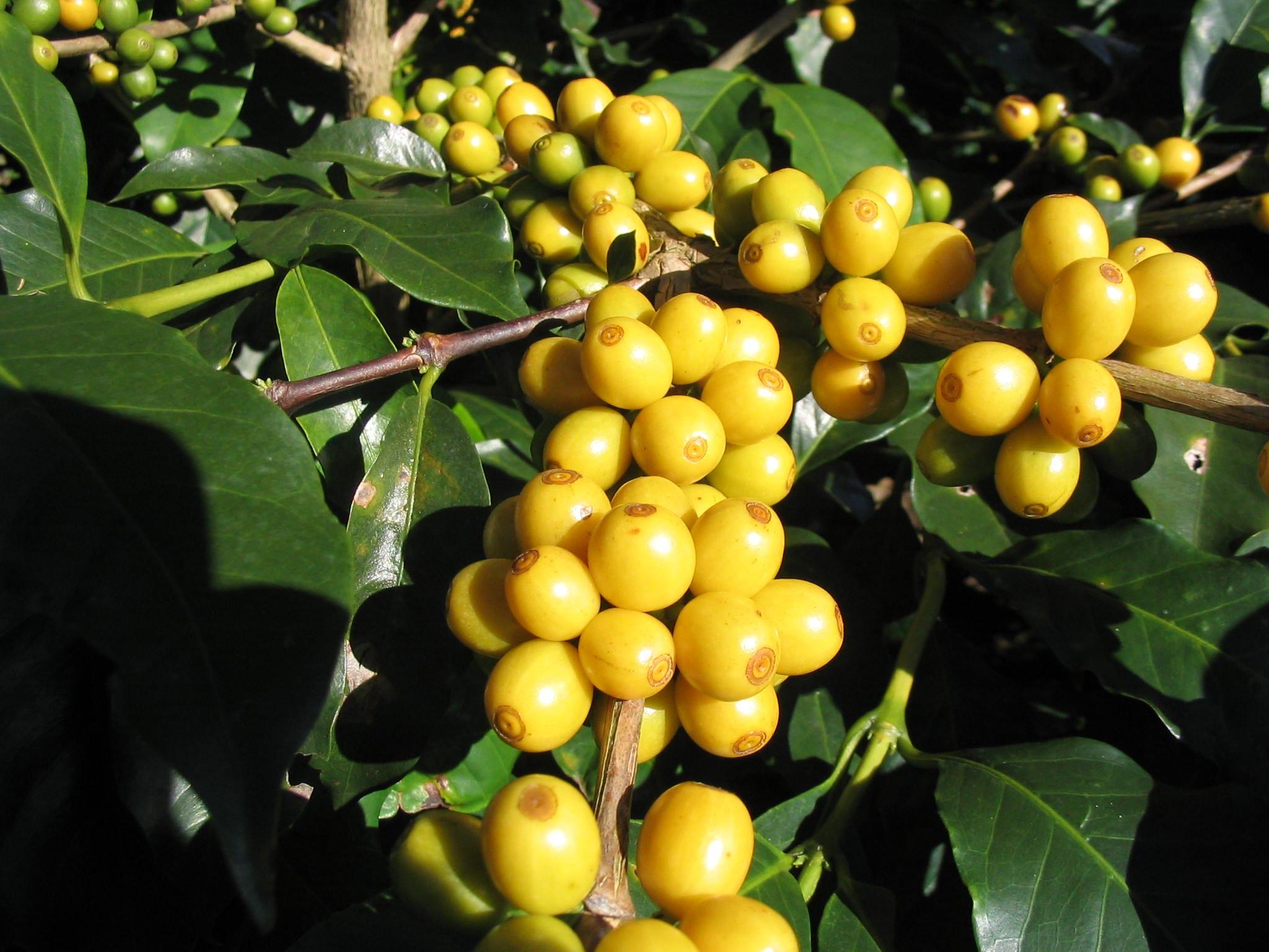 Bourbon coffee cherries