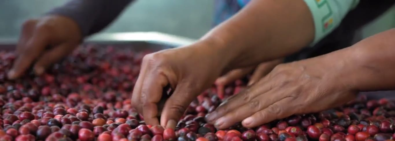 Women picking Robusta coffee cherries in Ecuador