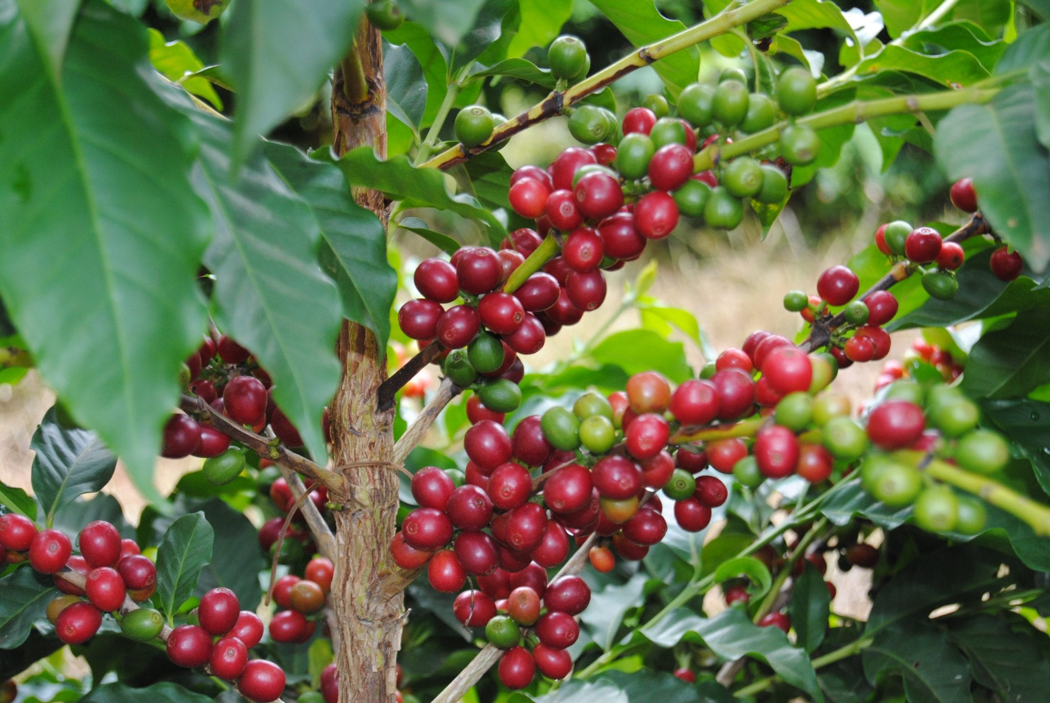 coffee producers sorting riped coffee cherries for quality control