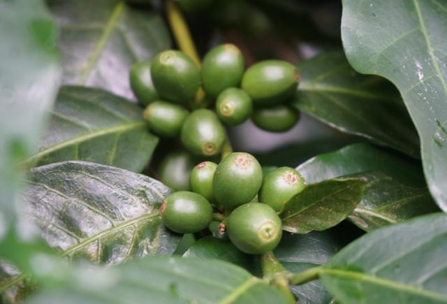 grao de cafe verde