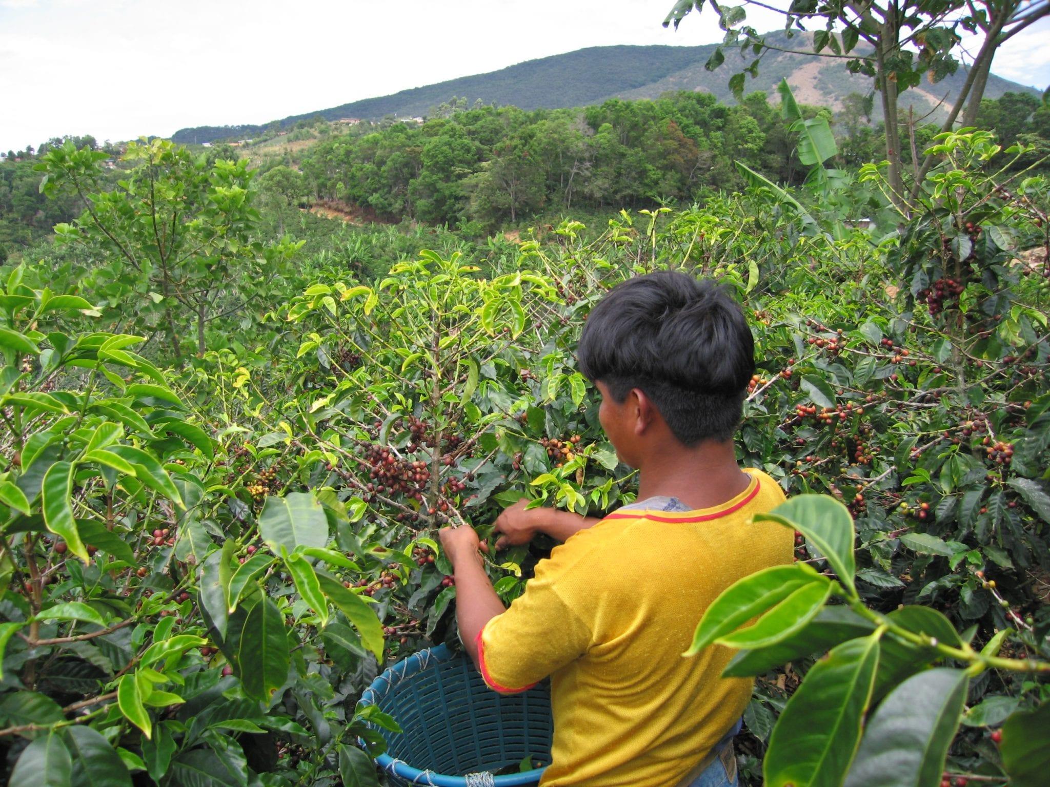 Coffee cherry picker at work