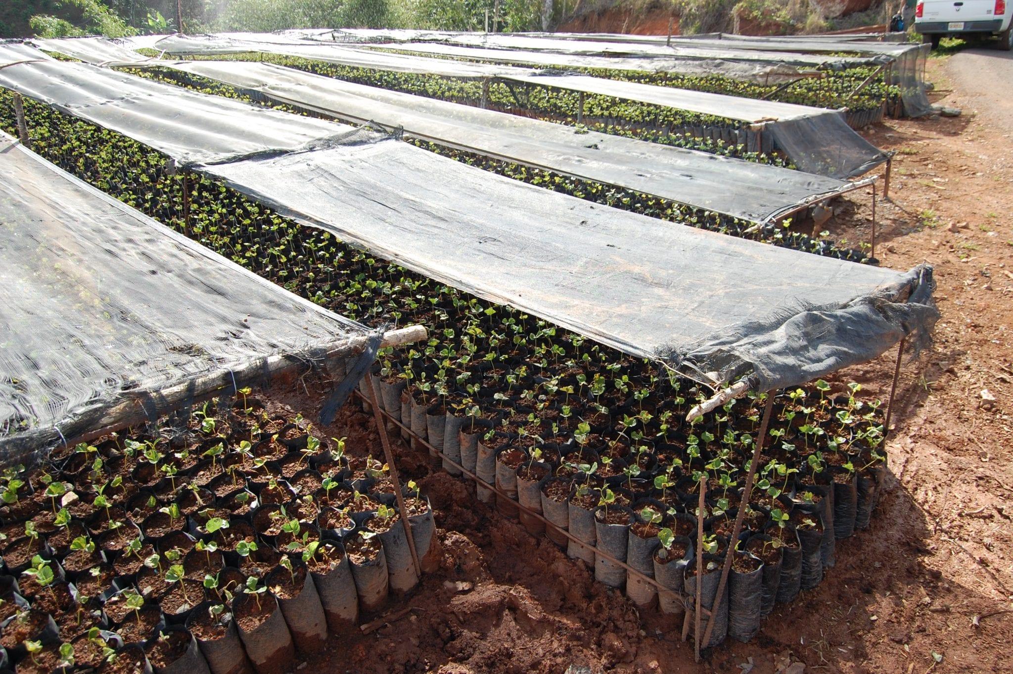 Coffee seedlings growing