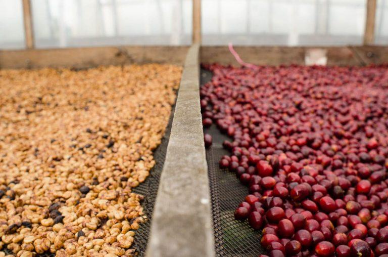 Cafés naturais e honey secam lentamente em terreiros suspensos.