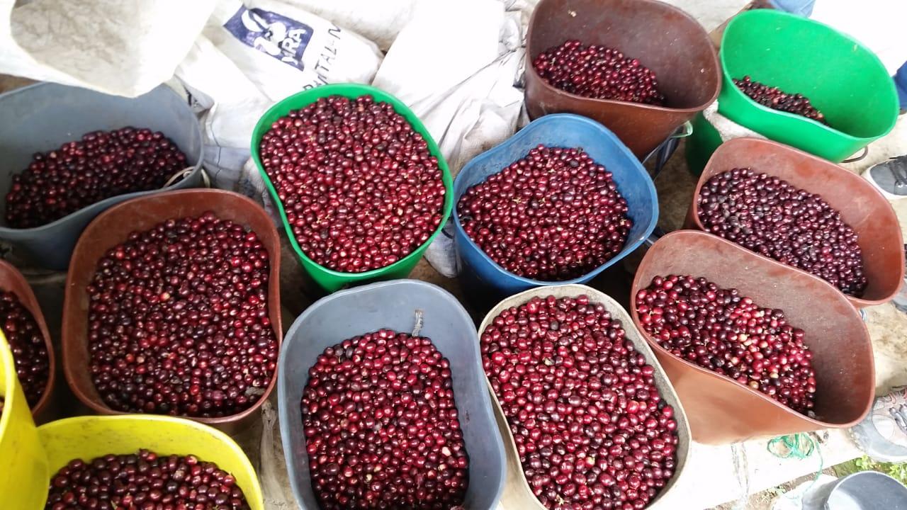 cerezas frescas de cafe en canecas
