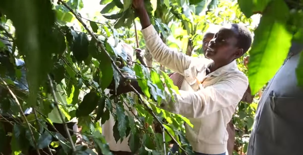 Agricultural Extension Officer showing producers how to prune trees