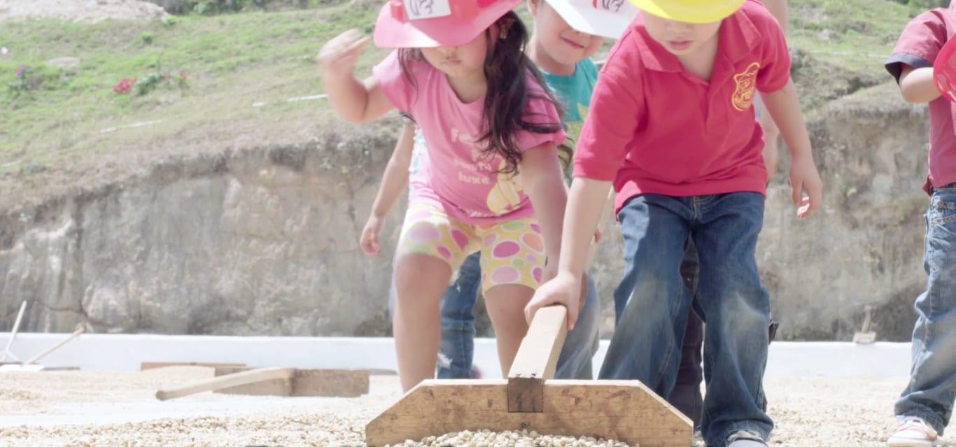 Children raking coffee