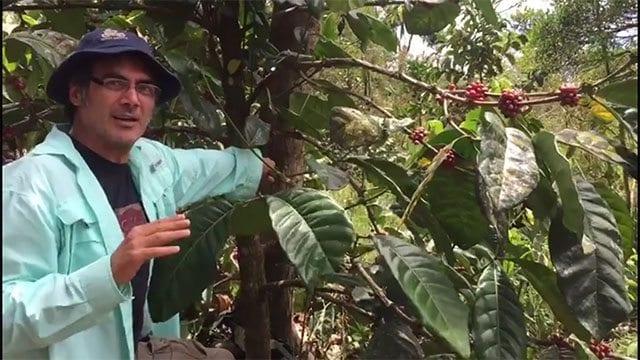 Man next to Liberica coffee tree