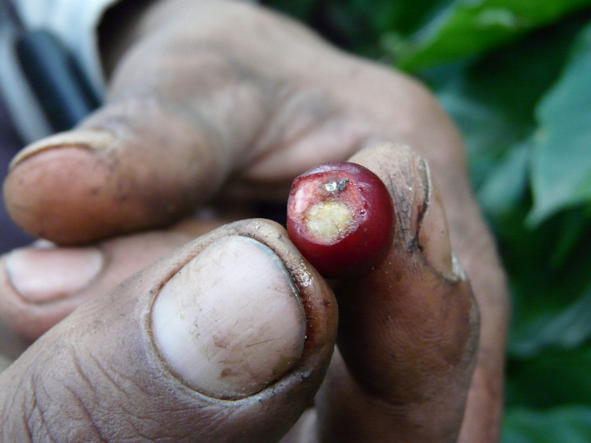 holding a ripe coffee cherry
