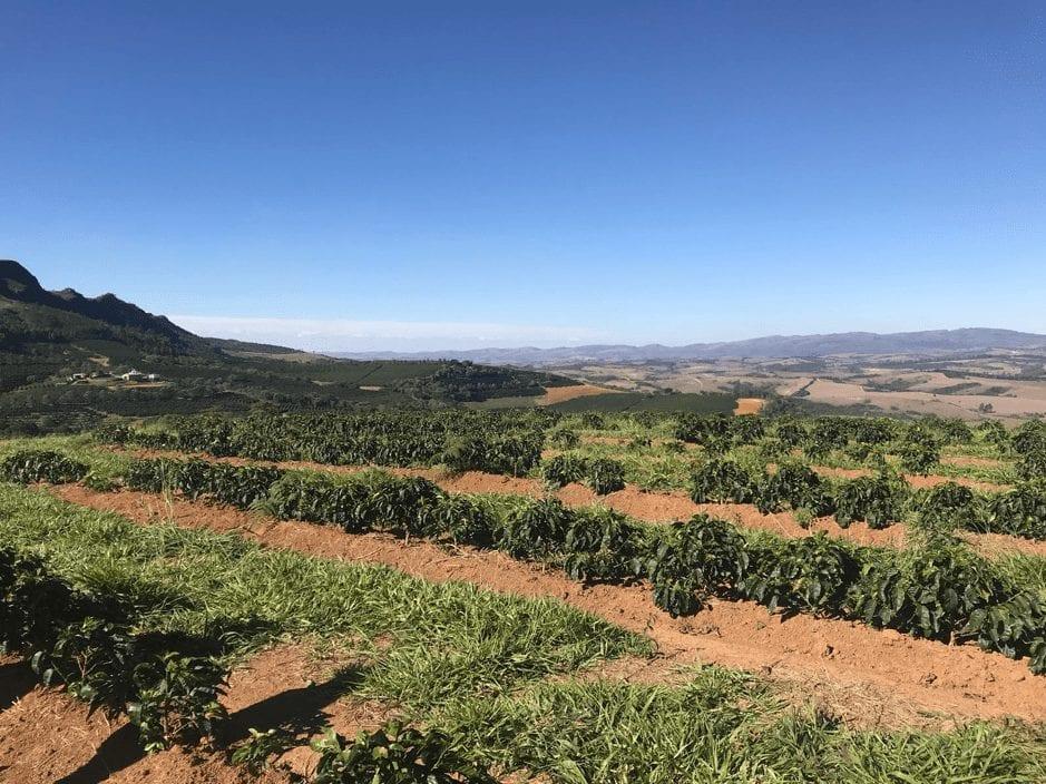 coffee trees on Fazenda colina in Brazil