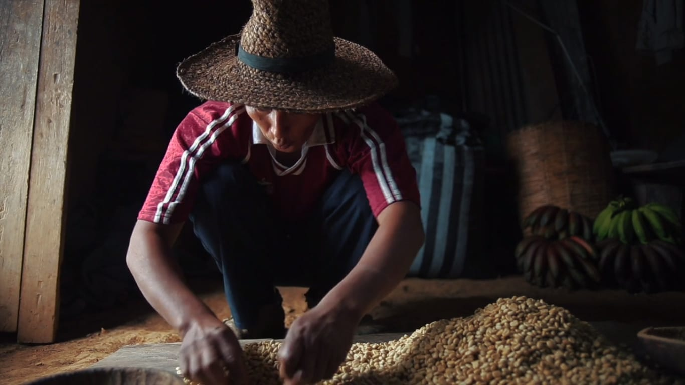 Quechan farmer sorting coffee for defects