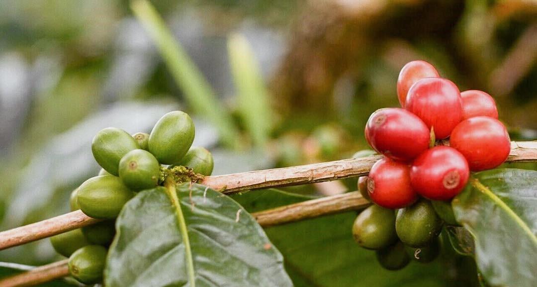 Ripe and unripe coffee