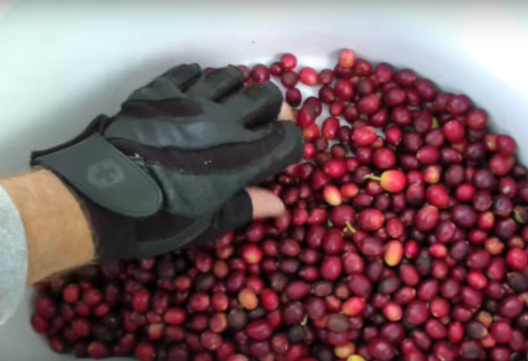 picking ripe coffee cherries