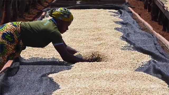 Woman turns coffee on drying bed in Tanzania