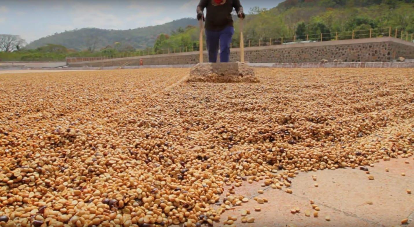 Coffee being raked in El Salvador