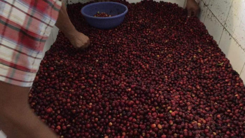 Selecting ripe cherries based on cherry colour at Finca La Huerta