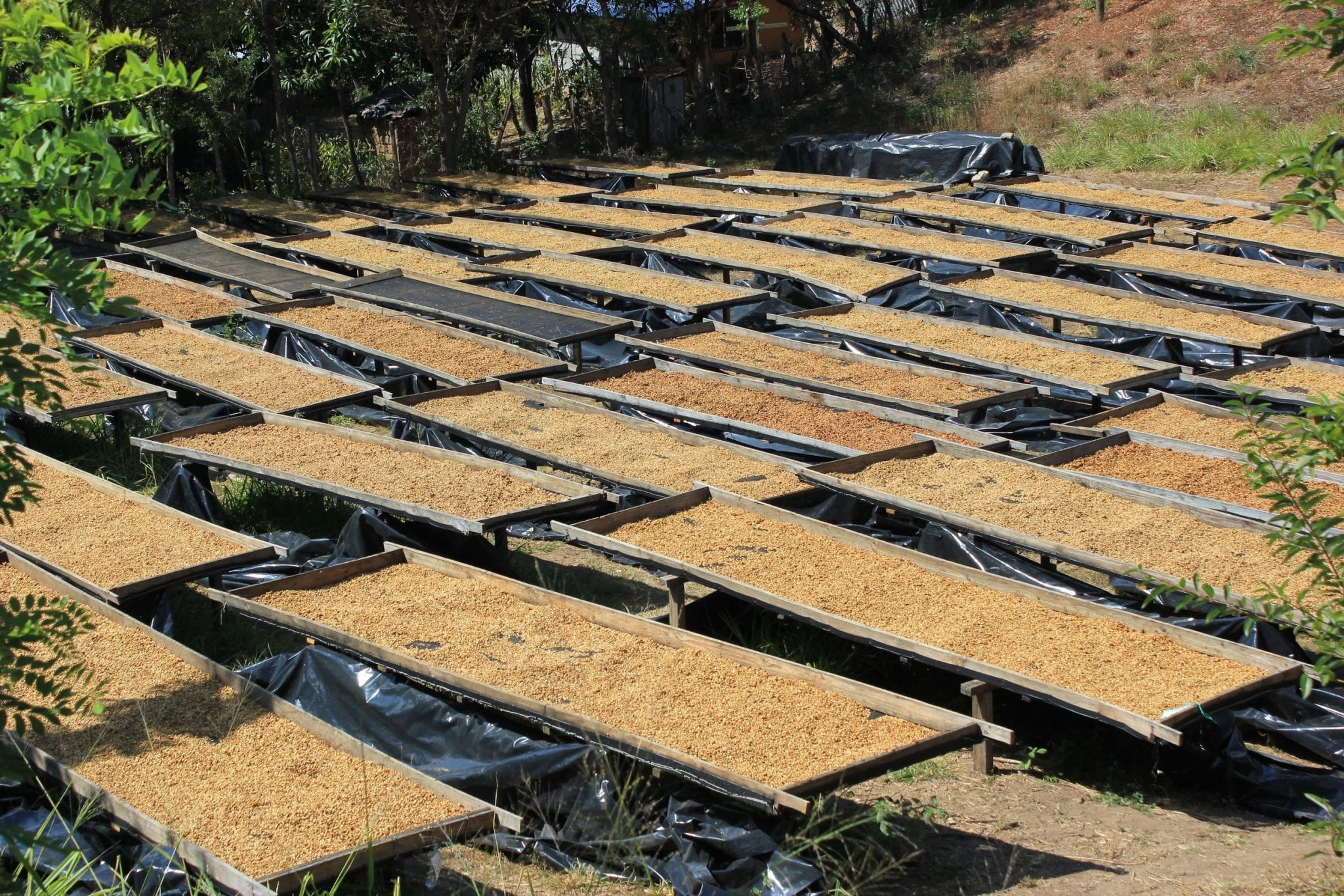 coffees being dried in african beds in a coffee farm