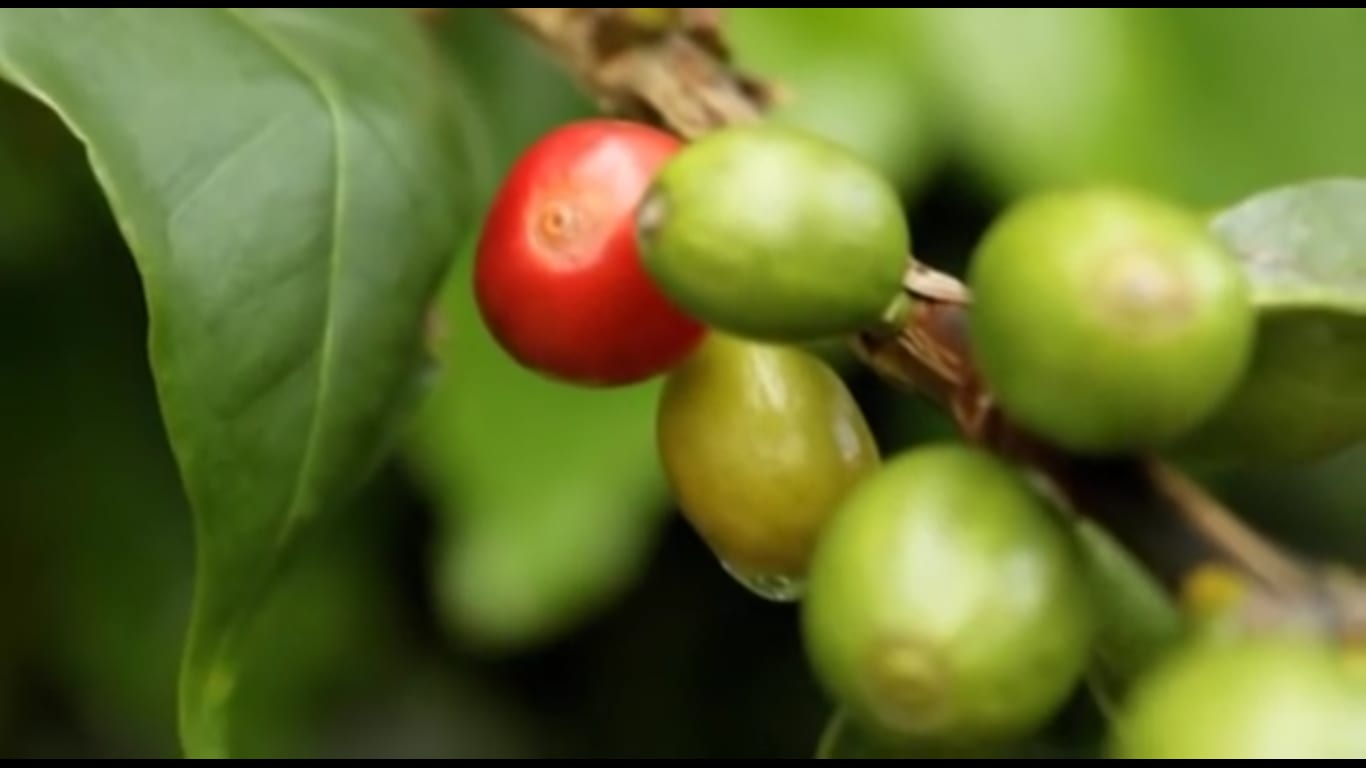 Shade-grown coffee cherries on the plant