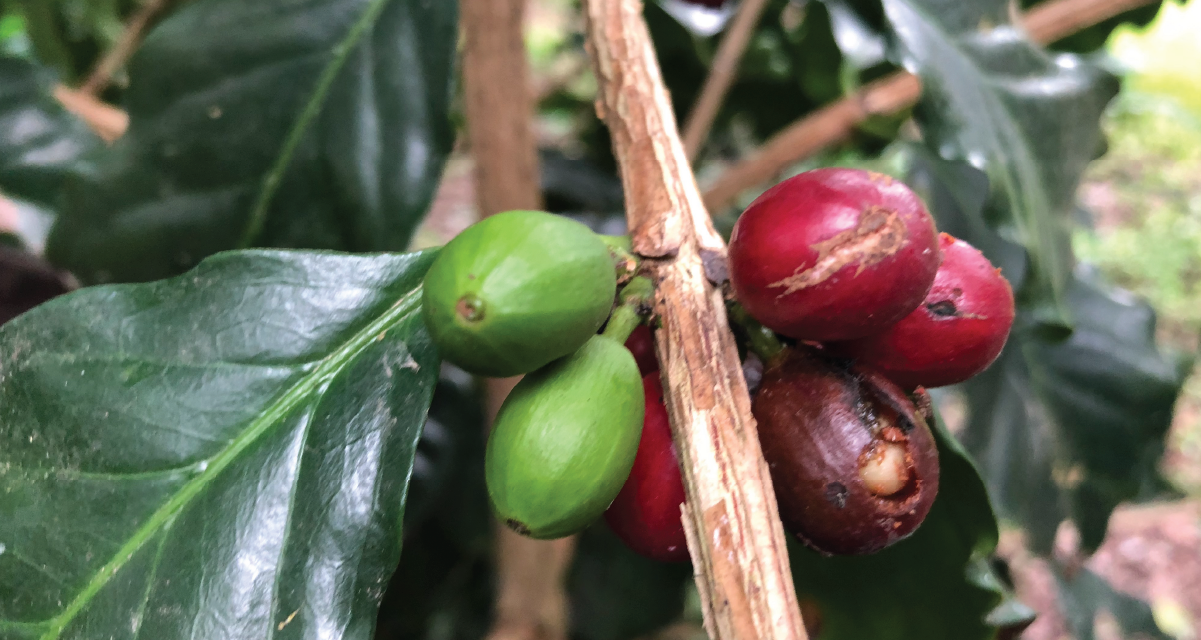 Coffee cherries in a branch