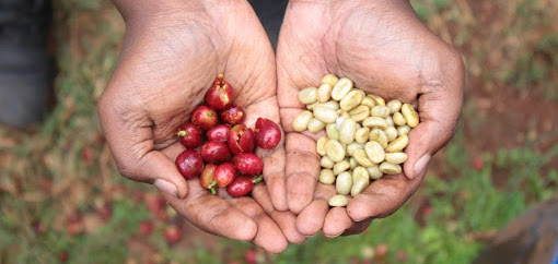 Hand holding coffee cherries and green beans