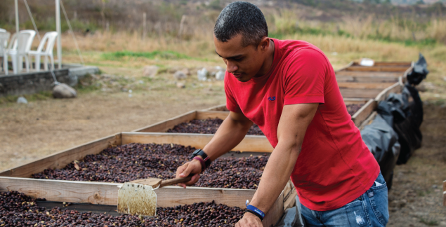 Hoduran producer dredging coffee cherries in a drying bed