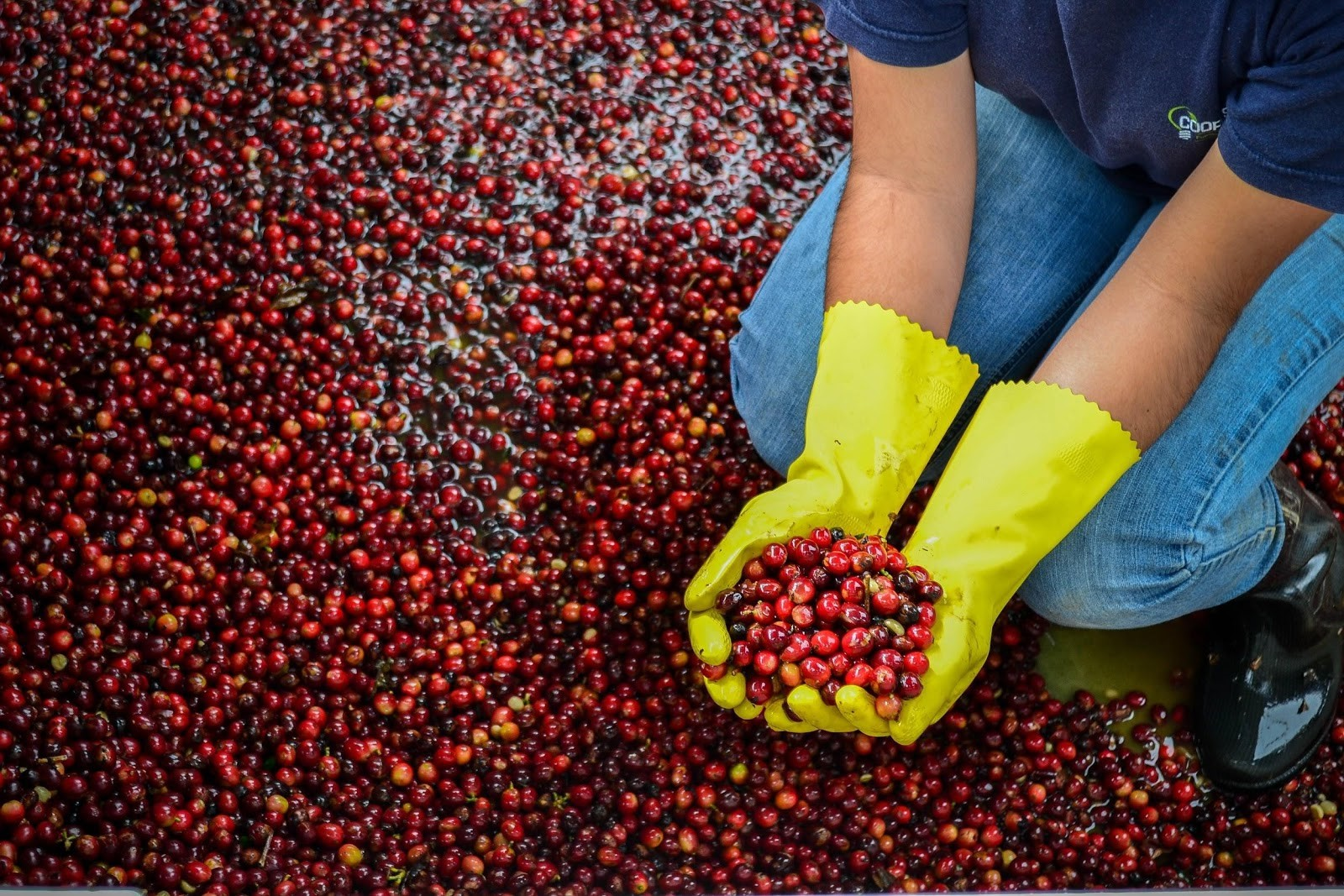 Producer holding ripe coffee cherries