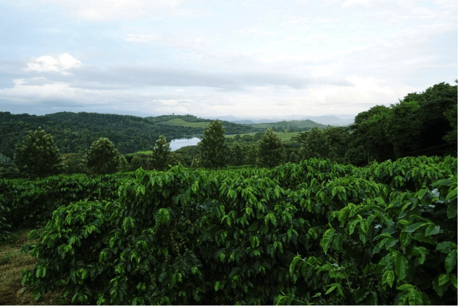 coffee crop in Zimbawe