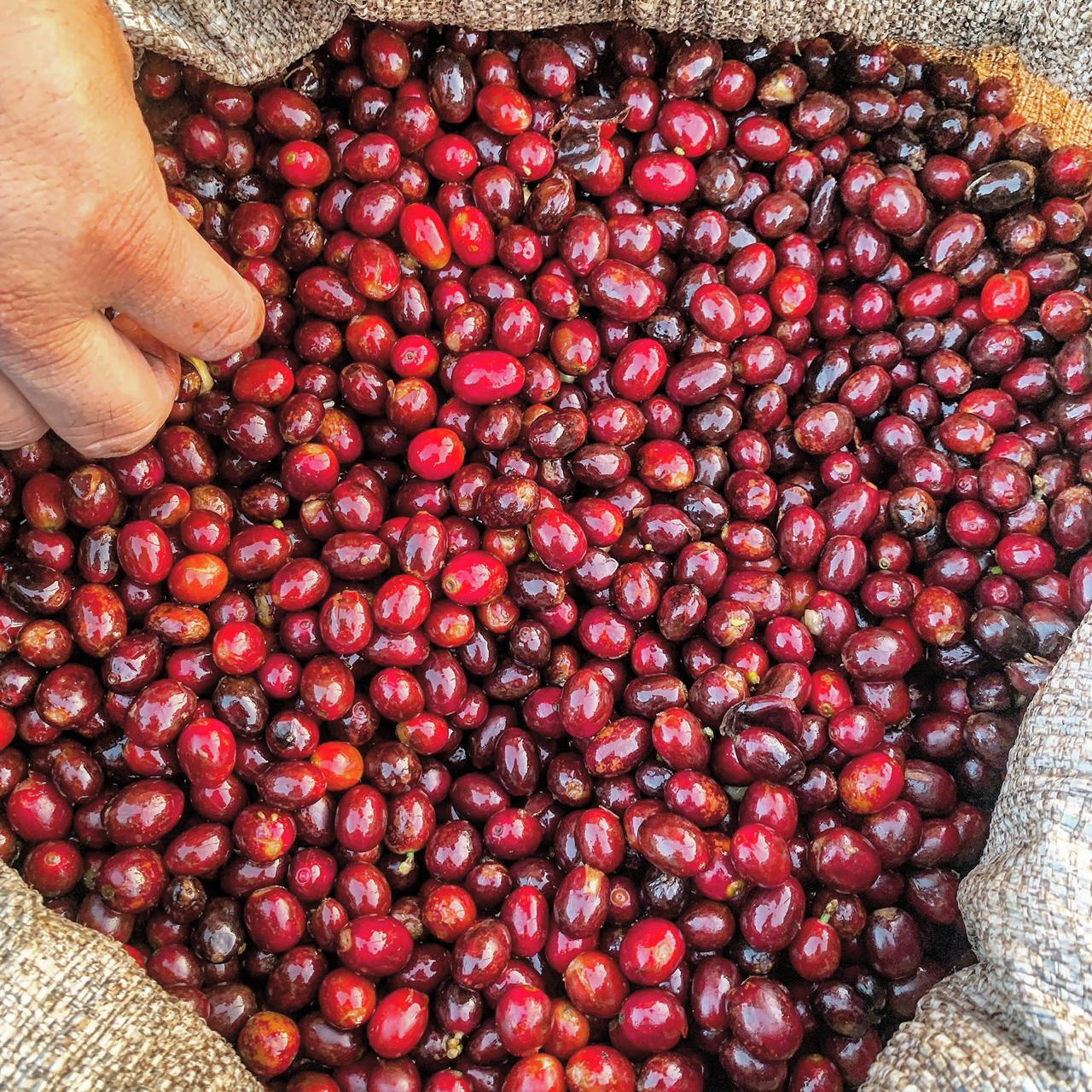 Ripe coffee cherries in a jute bag