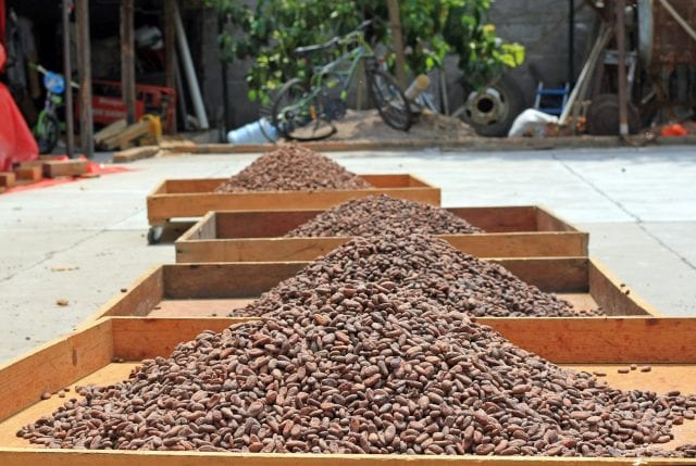 Cacao drying