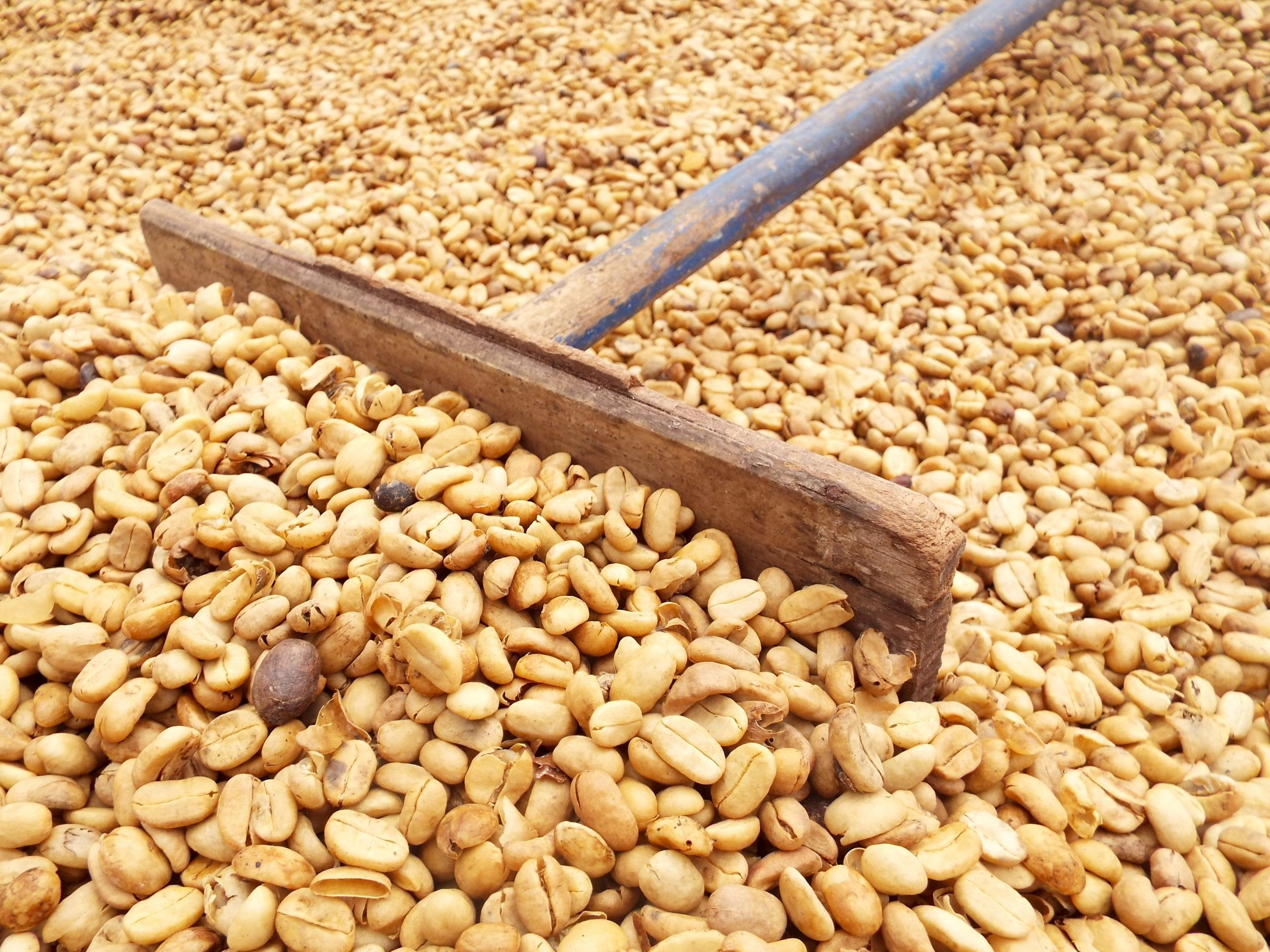 Producer raking green coffee beans in a drying bed