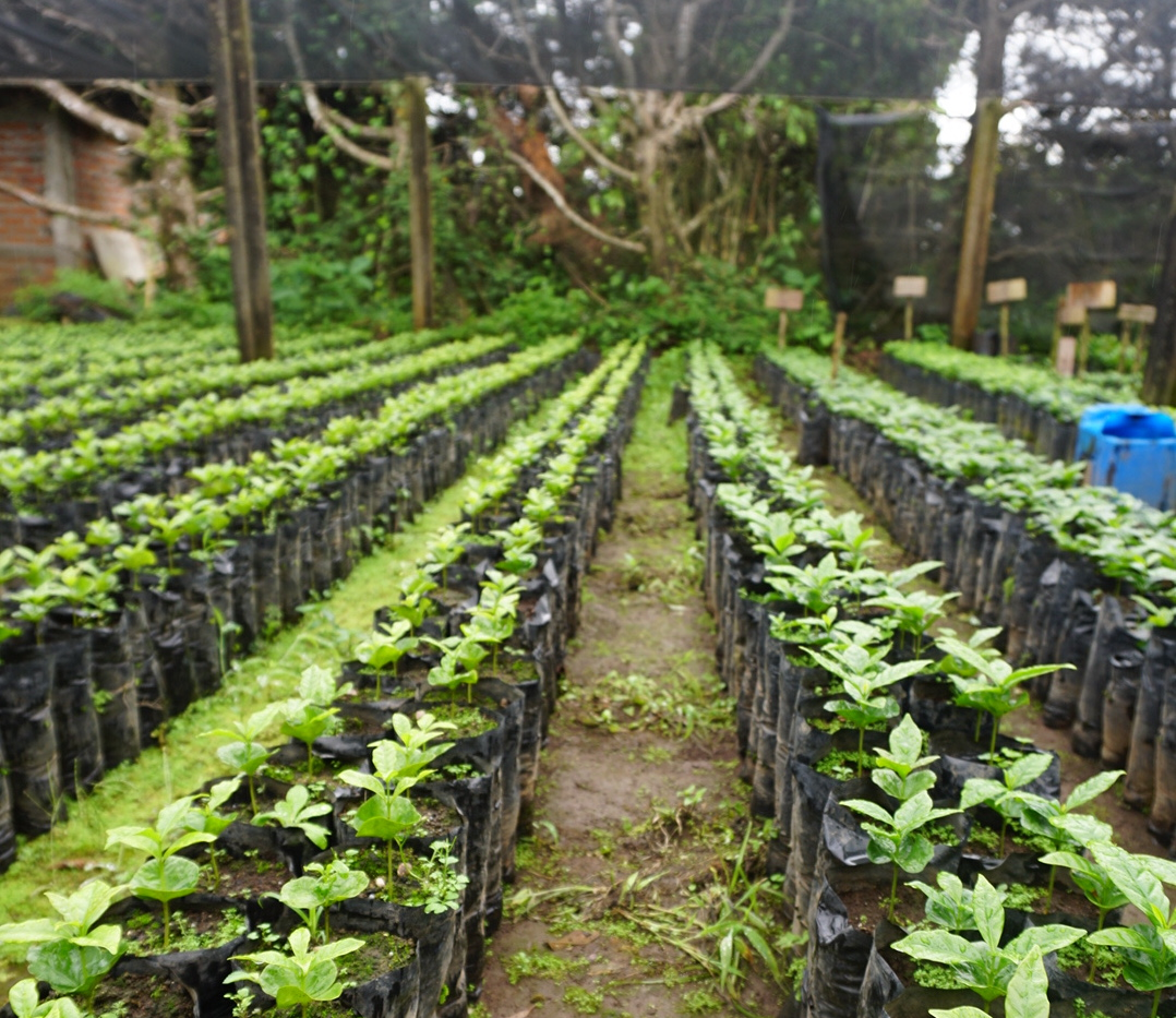 Different samples of coffee plants
