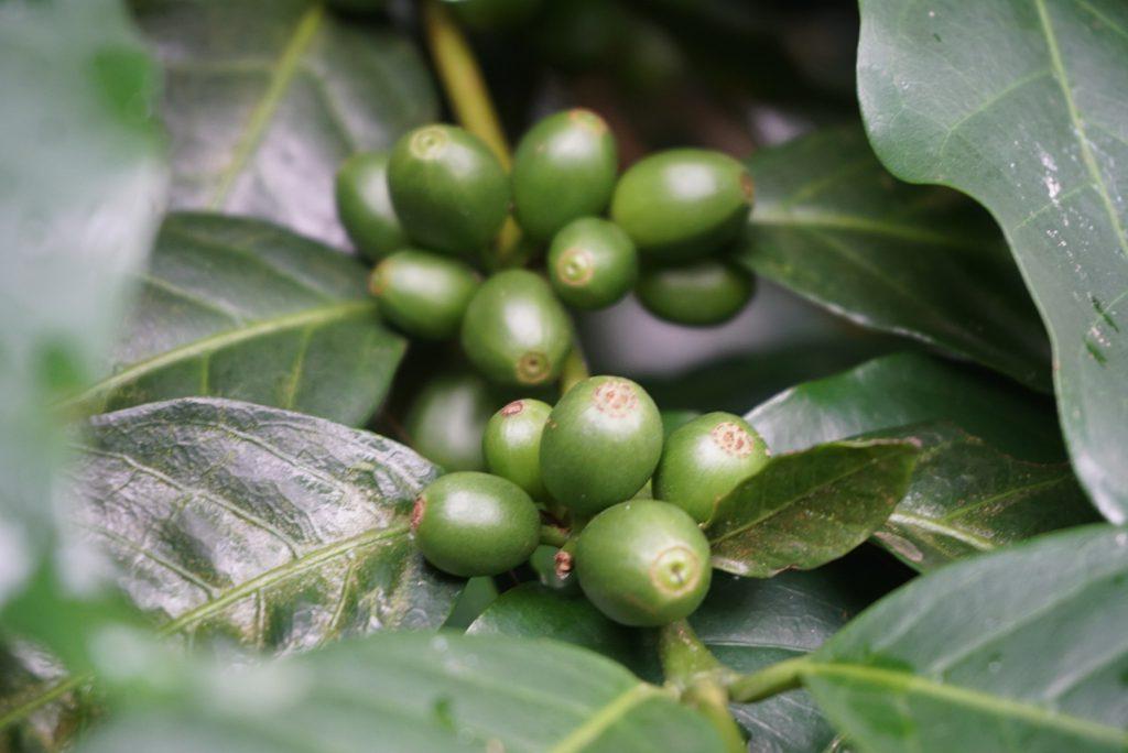 cafetales en una finca cafetera en isla galapagos