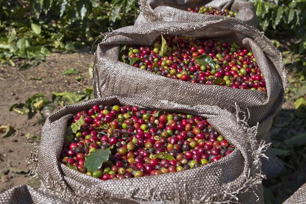 ripe and unripe coffee cherries in bag