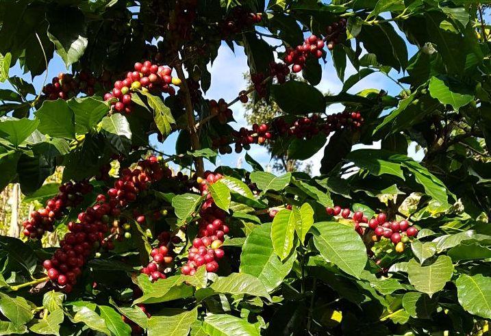 Plantas de café saudáveis com cerejas maduras.