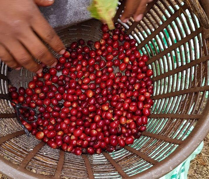 Um trabalhador colhe cerejas de café na Guatemala.