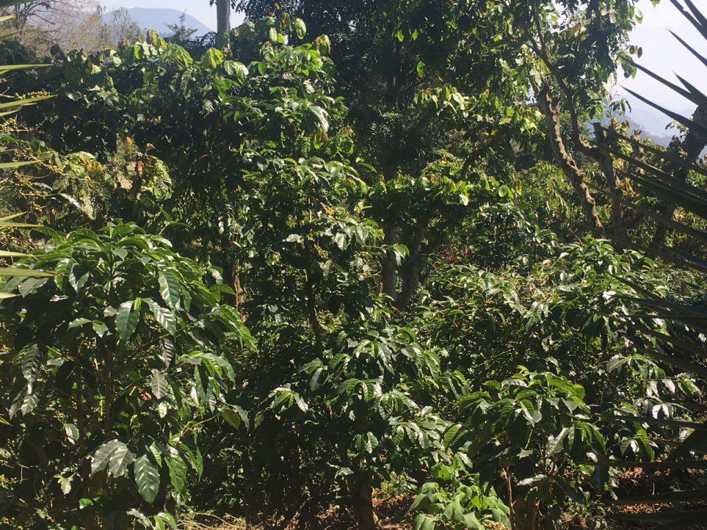 Plantas de café saudáveis.