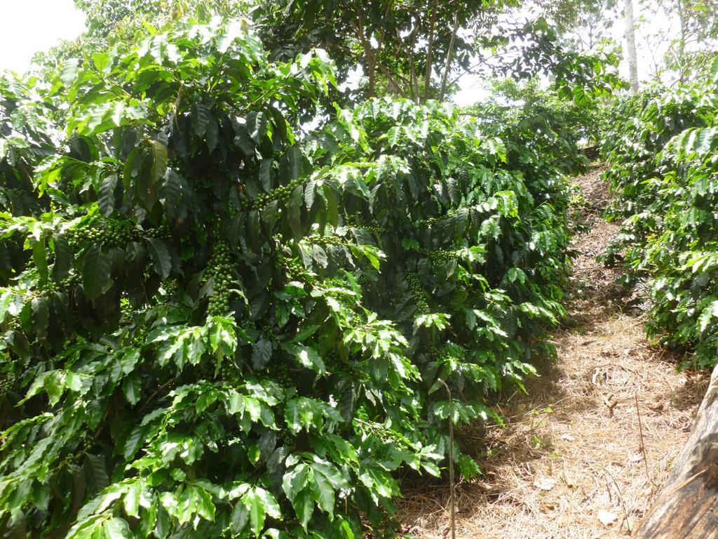 Cabildo de Gran Canaria entrega 5.000 cafetos para aumentar la superficie de producción de este histórico cultivo en Agaete