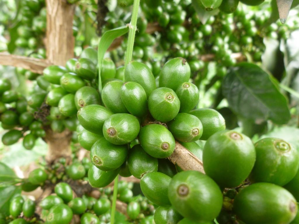 Pés de café jovens e saudáveis com cerejas verdes em Baxtla, Veracruz, México.
