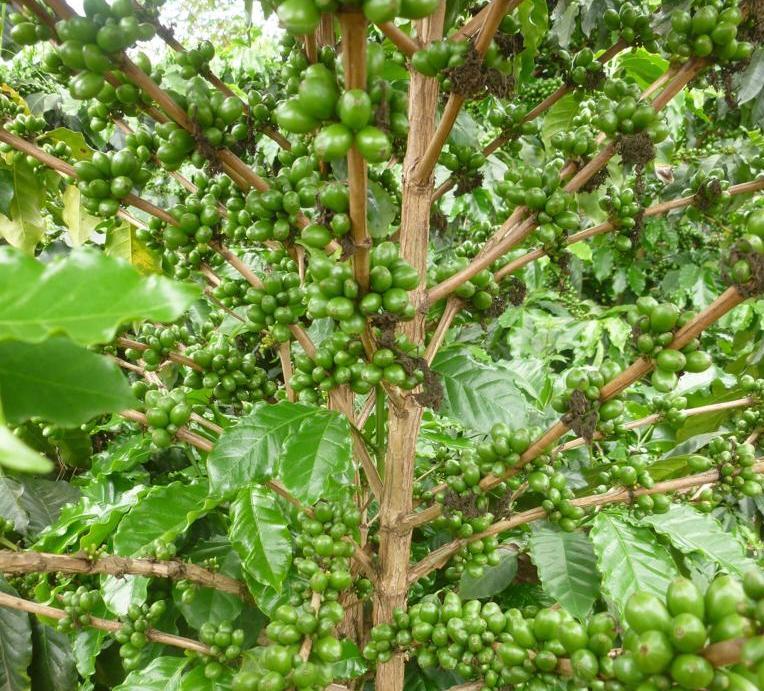 Caule principal e ramos primários de um cafeeiro saudável com cerejas verdes em Baxtla, Veracruz, México.