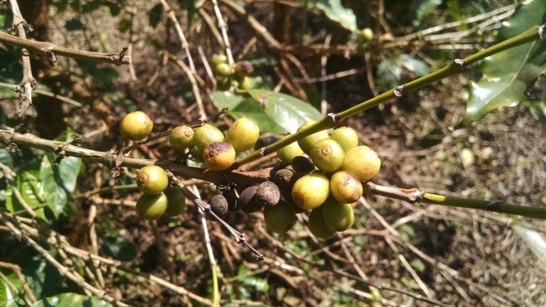 Cerejas de café incapazes de amadurecer devido à ferrugem das folhas de café. Crédito: Ivan Petrich