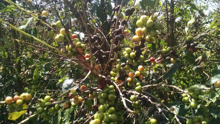 Cerejas de café incapazes de amadurecer devido à ferrugem das folhas de café.
