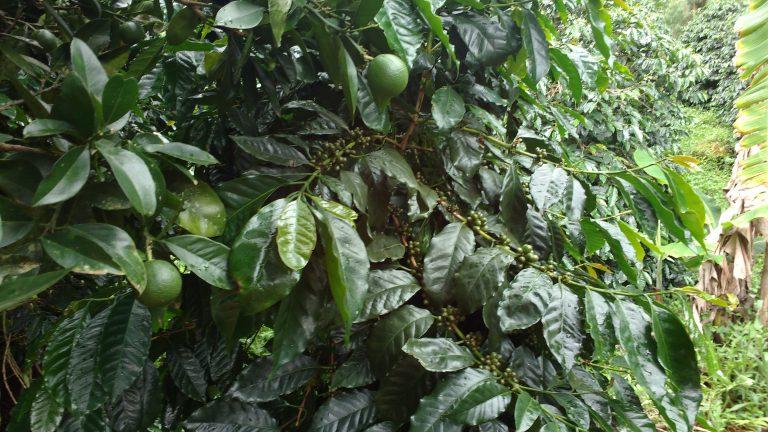 Folhas de café com pequenas manchas amarelas que indicam uma infecção precoce da ferrugem. Crédito: Ivan Petrich