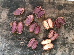 different cacao beans cut in half