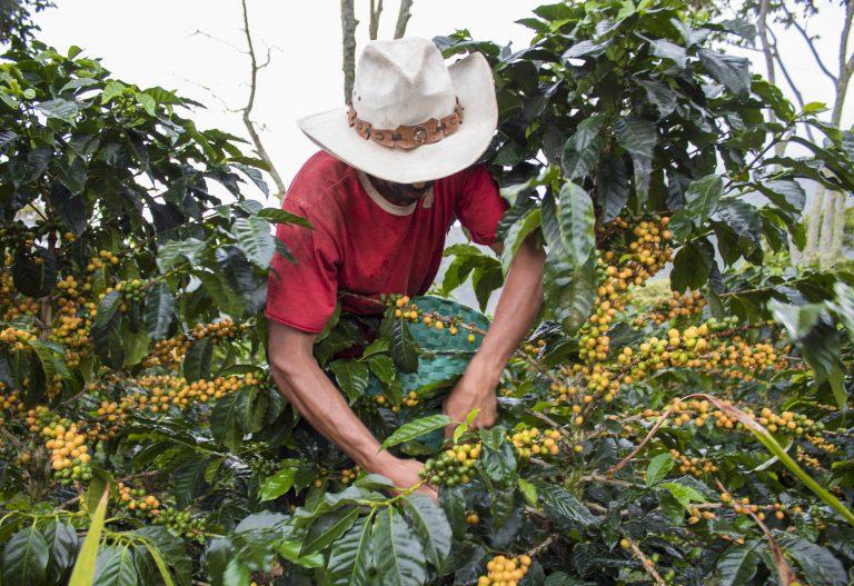 colheita do café e mudanças climáticas