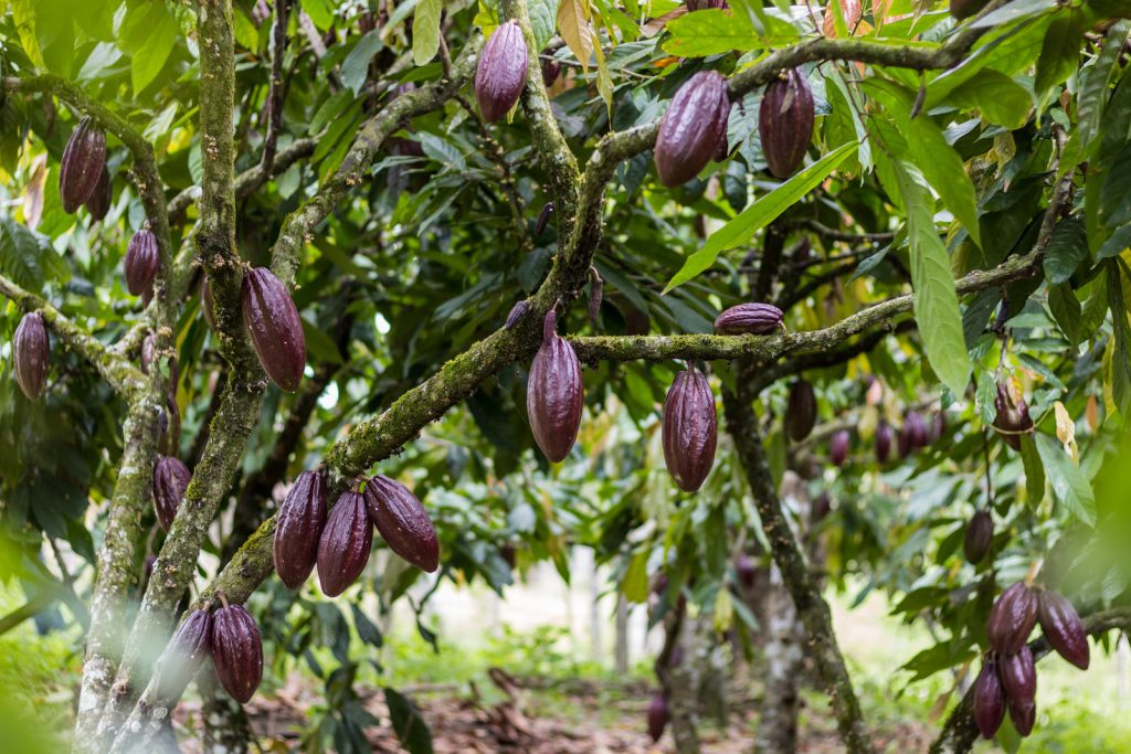 Fine cacao pods growing on trees