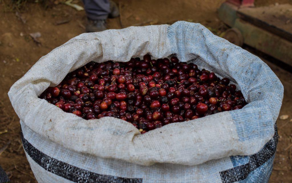 cerezas de cafe maduras en una bolsa