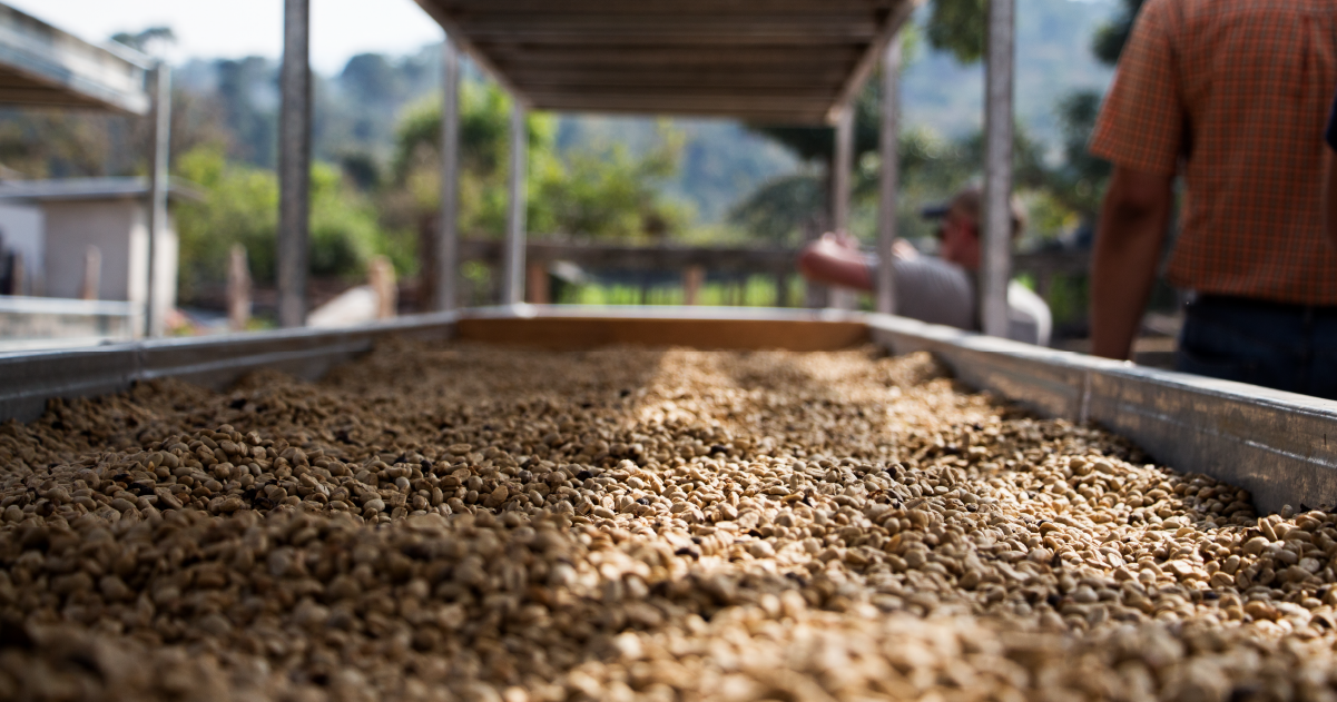 Green coffee beans in a drying bed